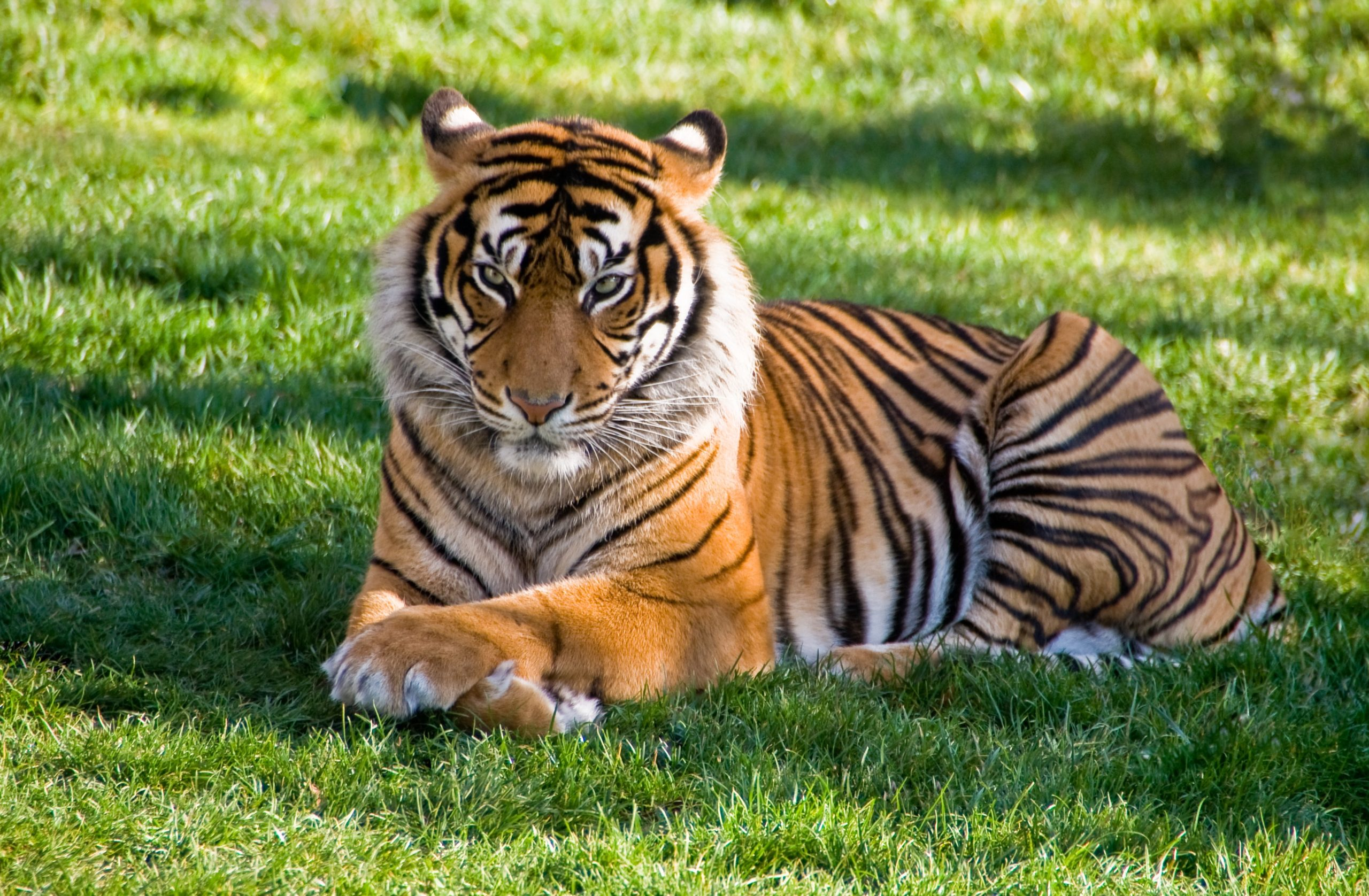 Tiger 'Nadia' Tests positive For COVID-19 at NYC's Bronx Zoo