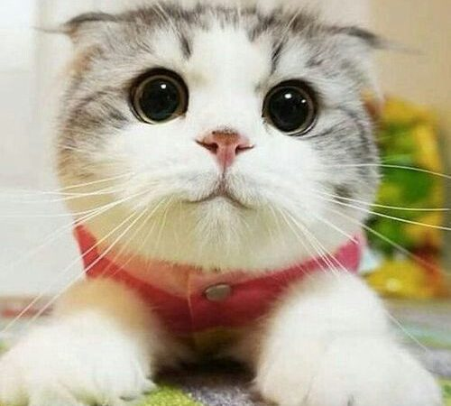 Feline Infectious Peritonitis in Cats
