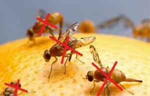 fruit flies on food
