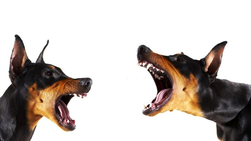 How to Stop Dog Aggression? Causes and Ways to Stop Aggression.
