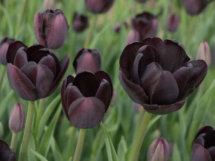 Alluring Black Flowers to Add Beauty to Your Garden