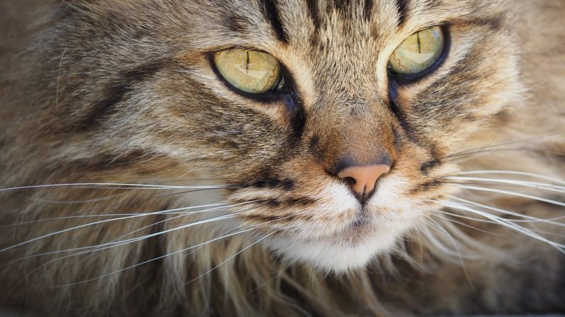 Exotic Cat Breeds That You Can Keep At Home Legally