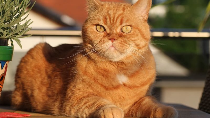 Best Exotic Shorthair Cat Foods
